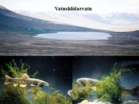 Bleikjuafbrigðin í Vatnshlíðarvatni: Mynd Bjarni Jónsson