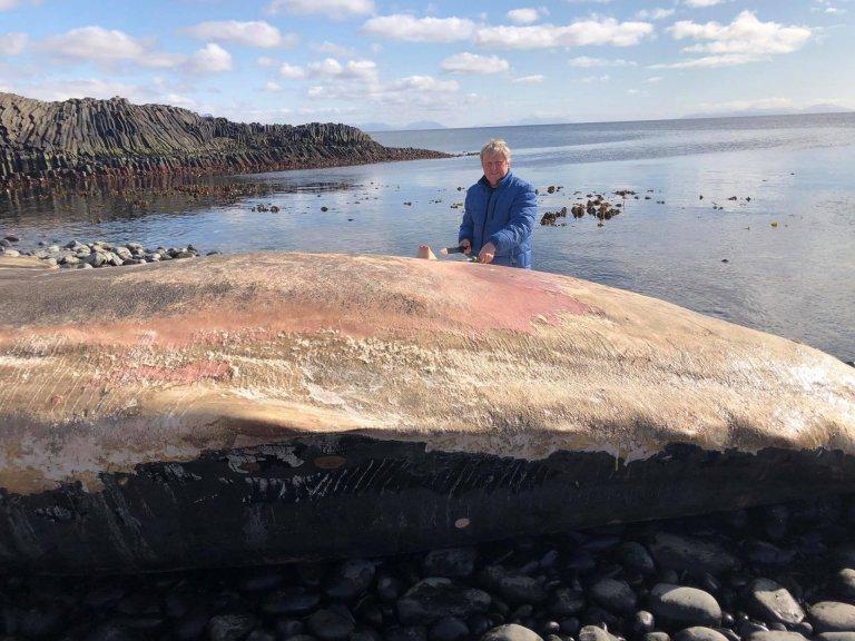 Bjarni Jónsson tekur sýni úr búrhval í Kálfshamarsvík